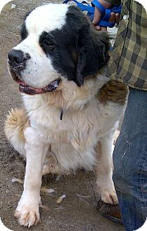 St. Bernard Dog for adoption in Huntsville, Ontario - Roxi - Big and Beautiful!