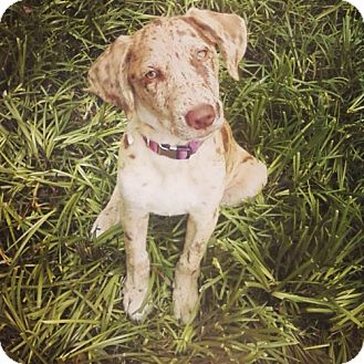 Catahoula Leopard Dog Mix Puppy for adoption in Richmond, Virginia - Cami