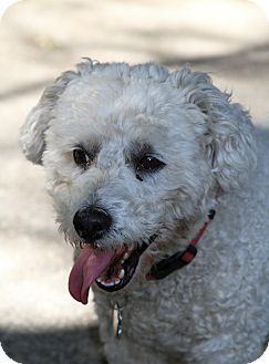 Bichon Frise Dog for adoption in Muskegon, Michigan - Archie