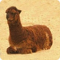 Alpaca for adoption in Black Forest, Colorado - Bob