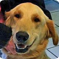 Adopt A Pet :: Cody - Cheshire, CT