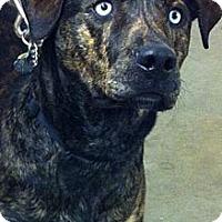 Adopt A Pet :: Apache - Nashville, TN