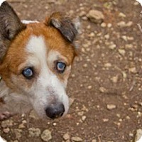 Corgi Mix Dog for adoption in Lago Vista, Texas - Princess
