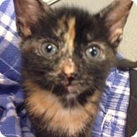 Adopt A Pet :: Blossom - Long Beach, NY