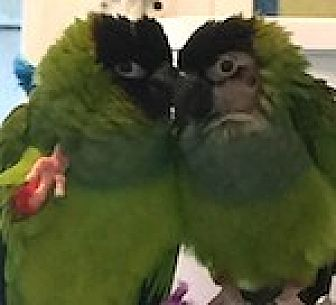 Conure for adoption in Asheville, North Carolina - Tori and Gabriele