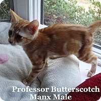 Adopt A Pet :: Professor Butterscotch - Bentonville, AR