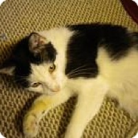 Adopt A Pet :: Bloomer - Bridgeton, MO