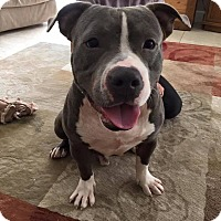 American Pit Bull Terrier Dog for adoption in Palm City, Florida - Buster
