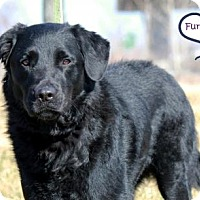 Adopt A Pet :: Tom (Whopper) - Lee's Summit, MO