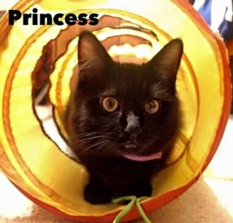 Domestic Mediumhair Cat for adoption in Napa, California - Princess & Batman