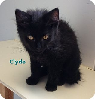 Domestic Longhair Kitten for adoption in Mountain View, Arkansas - Clyde