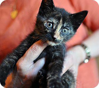 American Shorthair Kitten for adoption in Tanner, Alabama - Jada