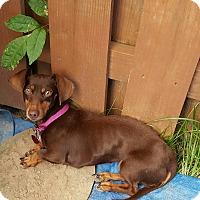 Adopt A Pet :: Steffi - Andalusia, PA