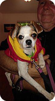 Rat Terrier/Boston Terrier Mix Dog for adoption in Arlington, Washington - Tiny dancer, a terrier mix puppy