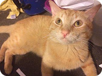 Domestic Shorthair Cat for adoption in Corona, California - Mufasa