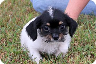 Brussels Griffon/Feist Mix Puppy for adoption in Glastonbury, Connecticut - Bubbles~adopted!