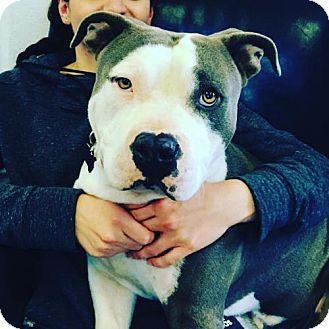 Pit Bull Terrier Dog for adoption in San Francisco, California - Merlin