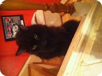 Domestic Mediumhair Cat for adoption in Glendale, Arizona - Skandal
