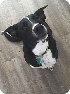 Border Collie/Boxer Mix Dog for adoption in St. Catharines, Ontario - Bosco