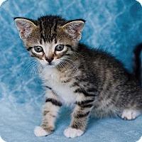Domestic Shorthair Kitten for adoption in Warrenton, Missouri - Rogue