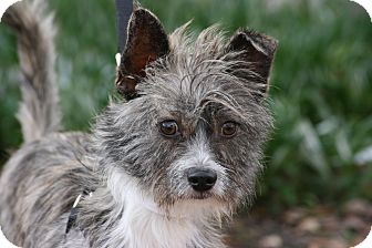 Terrier (Unknown Type, Small) Mix Dog for adoption in Carlsbad, California - Albert