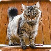 Adopt A Pet :: Mr. Fluff - Concord, NH