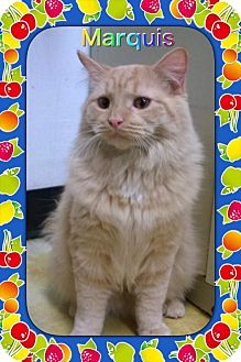 Maine Coon Cat for adoption in Atco, New Jersey - Marquis