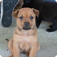 Adopt A Pet :: Storm - Houston, TX