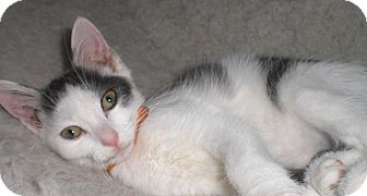 Domestic Shorthair Kitten for adoption in Fairborn, Ohio - Anastasia