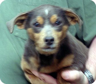 Dachshund/Beagle Mix Dog for adoption in baltimore, Maryland - Ernie