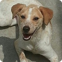 Adopt A Pet :: Abby**ADOPTED!** - Chicago, IL