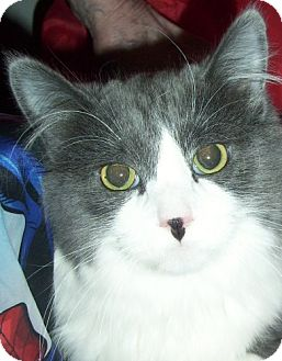 Norwegian Forest Cat Cat for adoption in Andover, Kansas - Kaitlyn