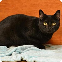Domestic Shorthair Cat for adoption in Cochran, Georgia - Mouser