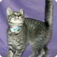 Adopt A Pet :: Pebbles - Powell, OH