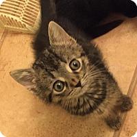 Adopt A Pet :: Jenny (Fluffy's Kittens) - Medford, NJ
