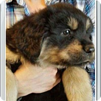 Adopt A Pet :: Grace's Puppy - Sampson - Midlothian, VA