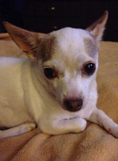Chihuahua Mix Dog for adoption in Shelbyville, Kentucky - Louise