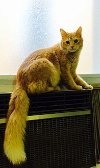Turkish Angora Cat for adoption in Chattanooga, Tennessee - Midas