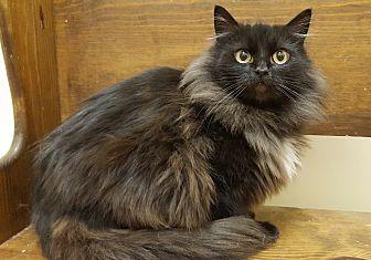 Domestic Longhair Cat for adoption in E. Claridon, Ohio - Megan