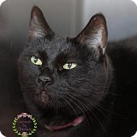 Adopt A Pet :: Midnight - Sierra Vista, AZ