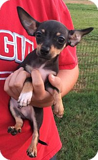 Chihuahua/Pomeranian Mix Puppy for adoption in Centerville, Georgia - Carlos
