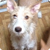 Wirehaired Fox Terrier Mix Puppy for adoption in Ronkonkoma, New York - Harriet