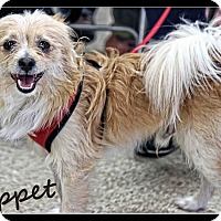 Adopt A Pet :: Moppet - West Allis, WI