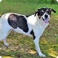 Jack Russell Terrier Mix Dog for adoption in Washington, D.C. - PROFESSOR OREO