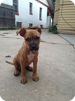 Boxer Mix Puppy for adoption in oklahoma city, Oklahoma - Lucy Lou