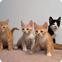 Adopt A Pet :: Kittens 4 males - DuQuoin, IL