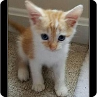 Domestic Shorthair Kitten for adoption in Waldorf, Maryland - Rory
