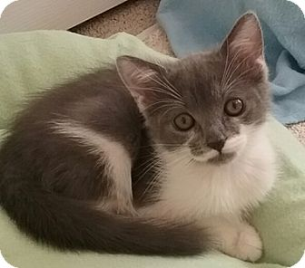 Domestic Shorthair Kitten for adoption in North Highlands, California - Morpheus