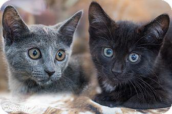 Domestic Shorthair Kitten for adoption in Staten Island, New York - Laurie's Kittens