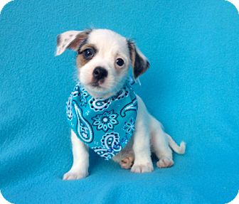 Chihuahua/Shih Tzu Mix Puppy for adoption in Burbank, California - Dabney